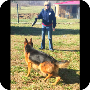 german shepherd breeders in n c german shepherd puppies for sale in asheboro north 4660